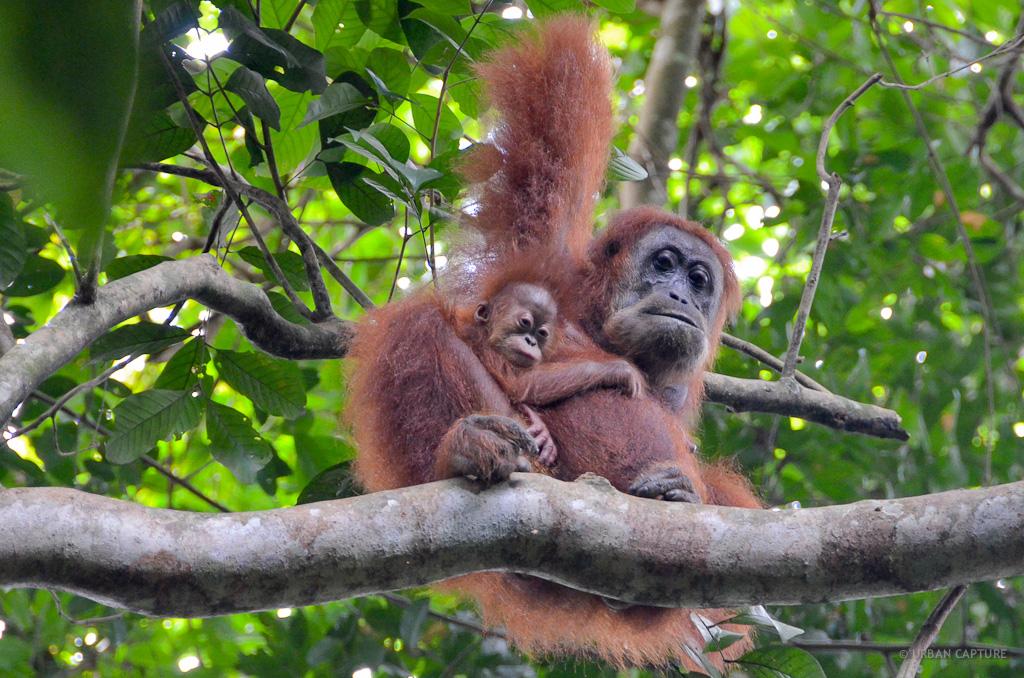 Orangutan Reserve Bukit Lawang Sumatra Indonesia