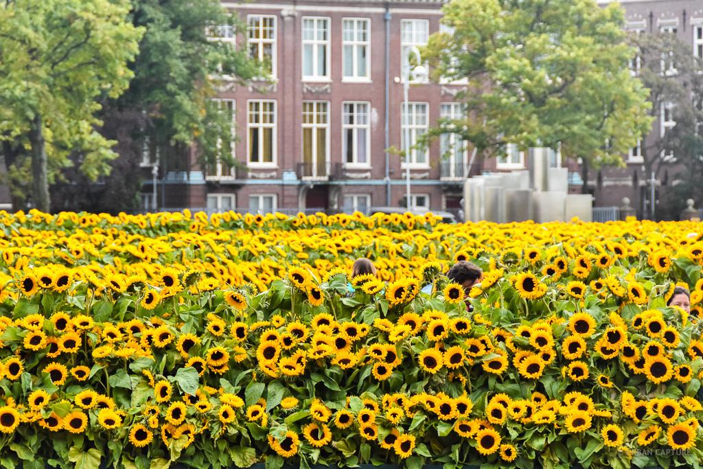 Van Gogh Sunflowers Museumplein Amsterdam The Netherlands